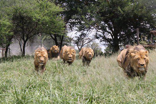Lion Charge, Wild Animals, Lion, Aggression, Africa