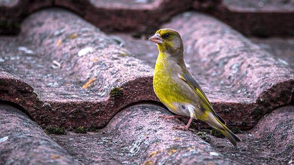 Bell Green, Carduelis Chloris, Bird, Singer, Small