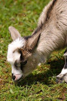 Kid, Young Animal, Goat, Domestic Goat, Cute, Livestock