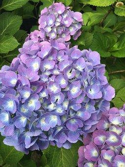 Hydrangea, Nature, Flower, Purple Flower