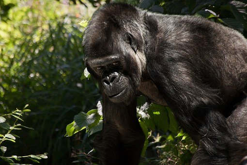 Gorilla, Monkey, Animal, Silverback, Ape, Black, Mammal