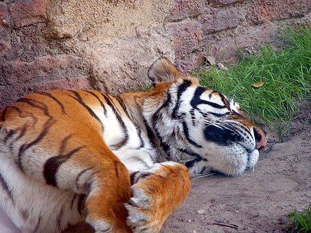 Tiger, Large Cat, Wildlife, Animal, Sleeping, Mammal