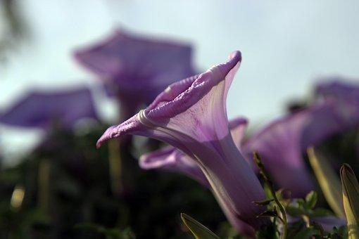Violet, Bell, Flower, Plants, Purple, Botany