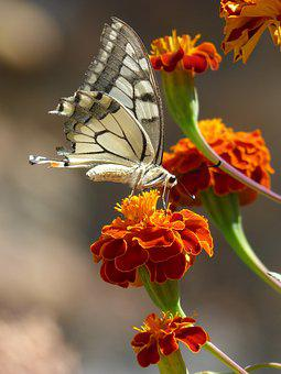 Butterfly, Papilio Machaon, Carnation Moro, Libar