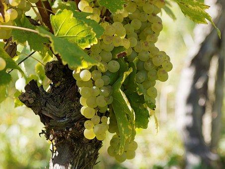 Vineyards, Grapes, Vines, Burgundy, Cluster