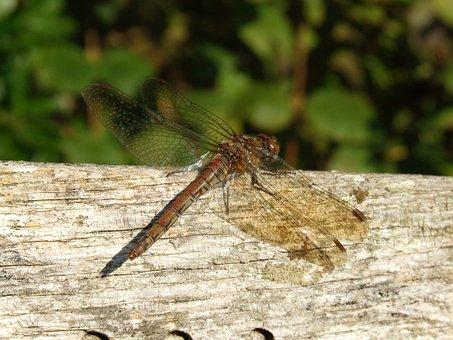 May Fly, Dragon Fly, Dragon-fly, Dragonfly, Fly, Insect