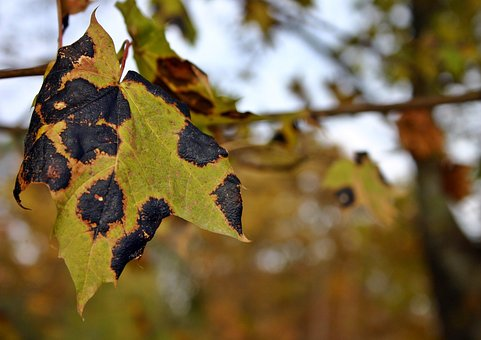 Tar Stain Disease, Maple, Tree, Maple Tree, Dry, Nature