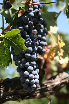 Ripe Bunch Of Grapes, Vine, Sunny, Leaves, Vineyard