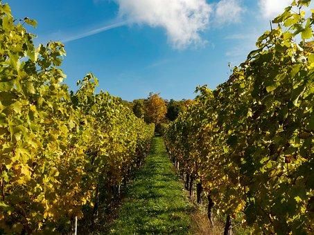 Vines, Vineyards, Fall, Grape, Vine Leaves, Harvest