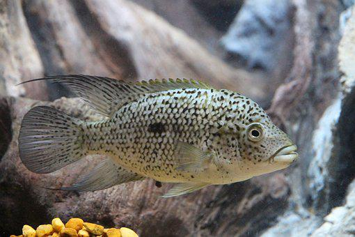 Fish, Cichlids, Aquariums, Gray Background