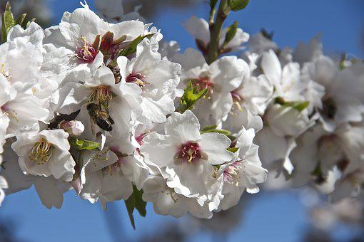 Flower, Almond Tree, Spring, Almond Flower