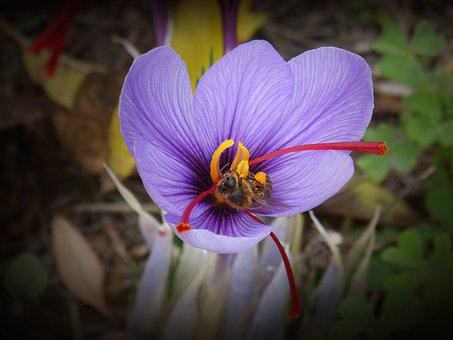 Saffron, Crocus Flower, Bee, Libar, Flower