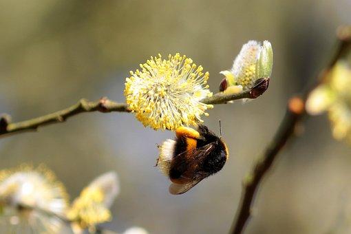Hummel, Bombus, Bee, Insect, Animal, Frühlingsanfang