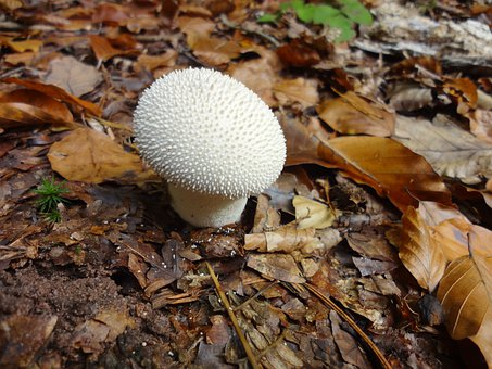 Mushroom, Bovist, Forest, Autumn, Nature, Leaves