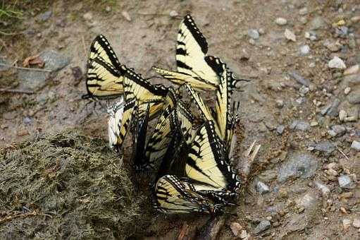 Animals, Insects, Butterflies, Swallowtail, Papilio