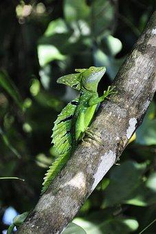 Basilisk, Lizard, R, Reptile, Frontal Lobe Basilisk