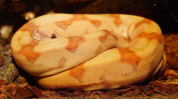 Snake, Boa Constrictor Imperator, Young Animal, Reptile