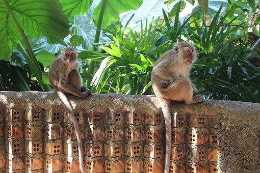 Ape, Thailand, Nature, Asia, Primate, Sweet, Animal
