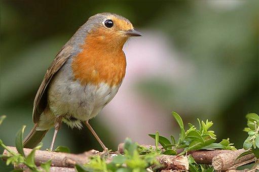 Robin, Erithacus Rubecula, Bird, Songbird, Garden
