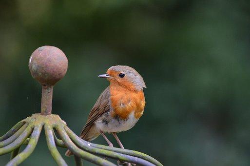 Robin, Bird, Erithacus Rubecula, Old World Flycatcher