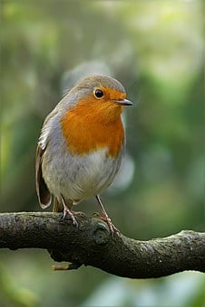 Bird, Robin, Erithacus Rubecula, Road, Winter, Foraging