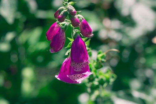 Thimble, Common Foxglove, Flower, Flowers, Plant