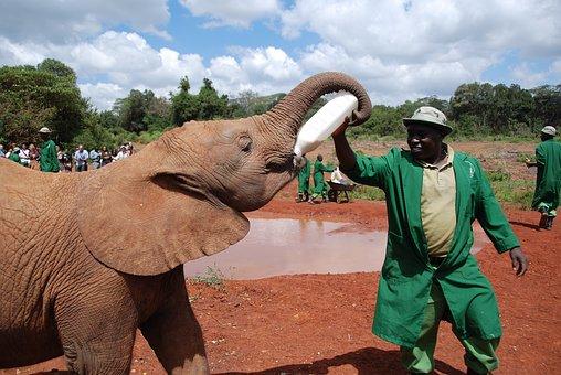 Elephant, Baby, Feeding, Milk, Bottle, Ranger, Nairobi