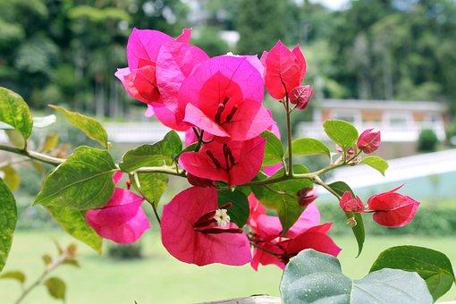 Bougainvillea Brasiliensis, Three Marys, Always-glossy