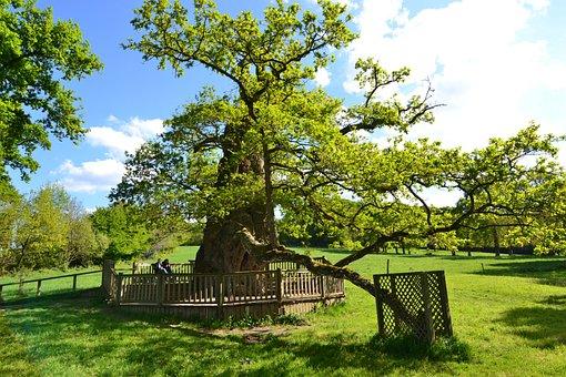 Guillotin Oak, Old Tree, Old Oak, Oak, Forest