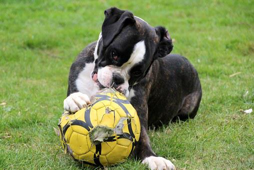 Dog, Boxer, Black And White, Pet, Dog Look, Ball