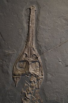 Fossil, Skull, Head, Skeleton, Crocodile, Hagbard