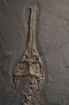 Fossil, Skull, Head, Skeleton, Crocodile, Hagbard