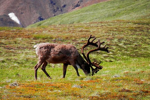 Reindeer, Denali, Wildlife, Alaska, Nature, Grazing