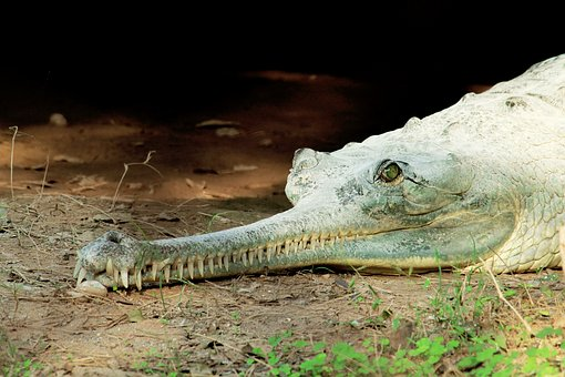 Crocodile, Water, Reptile, Alligator, Animal, Mouth