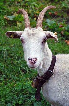 Goat, Animal, Austria, The Alps, Buck, Horns, Coat