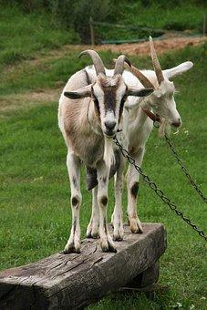 Goats, Goat, Buck, Nature, Horn, Goat Head, Village