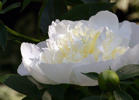 Flower, Peony, Single, Botanic, White, China, Indiana