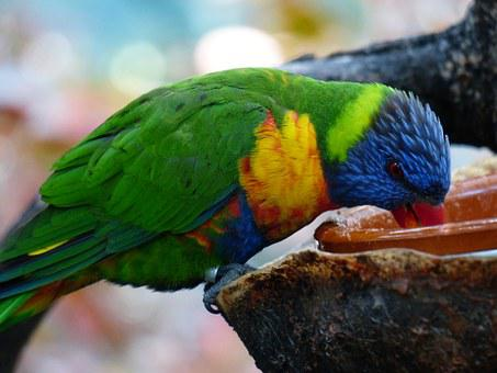 Lori, Parrot, Drink, Eat, Feeding, Bird, Loriinae
