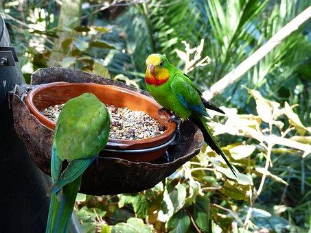 Sign Parakeets, Birds, Parrots, Polytelis Swainsonii