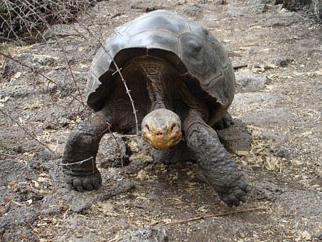 Galapagos, Tortoise, Ecuador, Wildlife, Endangered