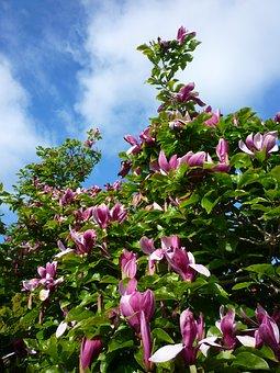 Tulip Tree, Magnolia, Sky, Tree