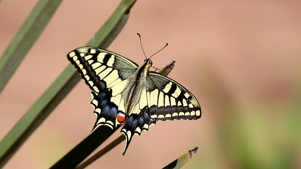 Butterfly, Dovetail, Papilio Machaon, Insect