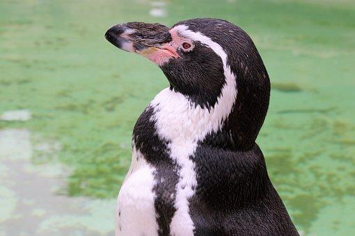 Penguin, Portrait, Wildlife, Wild, Nature, Aquatic