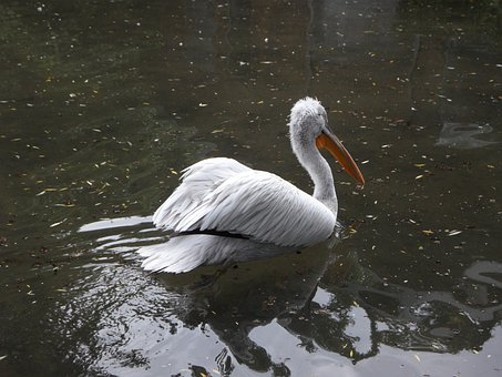 Dalmatian Pelican, Pelikan, Swim, Swim Away, Water Bird