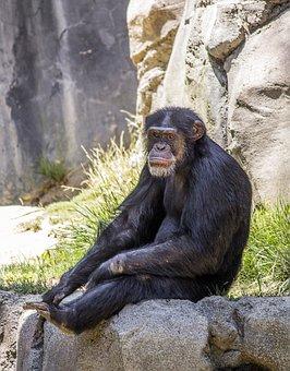 Chimpanzee, Animal, Monkey, Ape, Primate, Nature