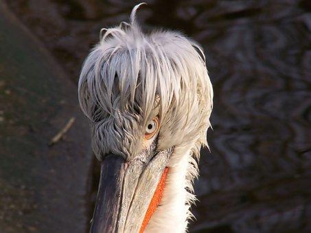 Pelican, Dalmatian Pelican, Animals, Bird, Zoo