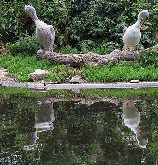 Dalmatian Pelican, Pelikan, Water Bird, Spring Dress