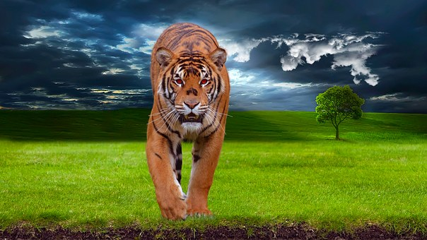 Tiger, Predator, Animal, Wildlife, Nature, Wild, Cat