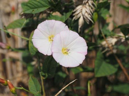 Bindweed, Flower, Blossom, Bloom, Pink, White