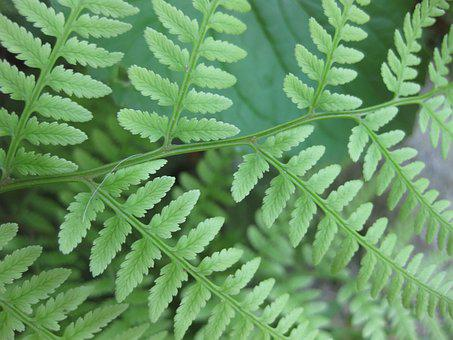 Fern, Woodland, Leaf, Green, Forest, Woods, Natural